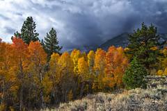 Eastern Sierra Glory (Darvin Atkeson) Tags: autumn sunlight lake snow storm color fall dark high gloomy grove nevada sage sierra pines aspen lundy darvin atkeson darv liquidmoonlightcom