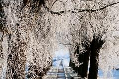 Winter wonderland  EXPLORE (Dick Verton) Tags: trees winter snow holland nature dutch landscape path explore netherland bycicle frysland dickverton vision:mountain=052 vision:text=0582 vision:outdoor=0948