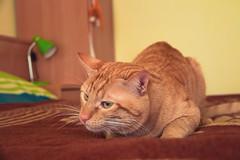 Fiumi (Juanedc) Tags: espaa orange pet pets home animal fauna cat casa spain feline zaragoza gato aragon felino es naranja mascota mascotas saragossa fiumicino anaranjado miyo fiumi