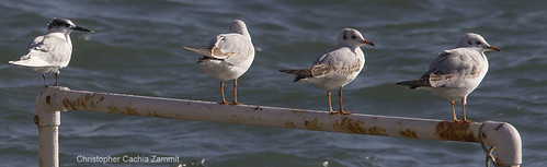 A Sandwich tern (far left) and three Black-Headed Gulls resting.