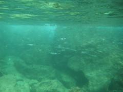 Goldspot Sardines (zodia81) Tags: ocean sea fish hawaii underwater snorkel oahu snorkeling northshore tropical seaurchin sharkscove