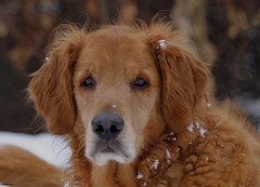 Boone (Diane Marshman) Tags: winter dog brown snow black male dogs nature up fur nose golden eyes close pennsylvania picture large scene retriever pa northeast boone northeastern