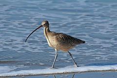 Morro Bay Sandpiper (1) (Bob Palin) Tags: ocean california 15fav usa bird beach 510fav canon us is shore morrobay 70300mm ef curlew f456 100vistas instantfave ashotadayorso canoneos60d snadpiper orig:file=2013122414913adjust2048