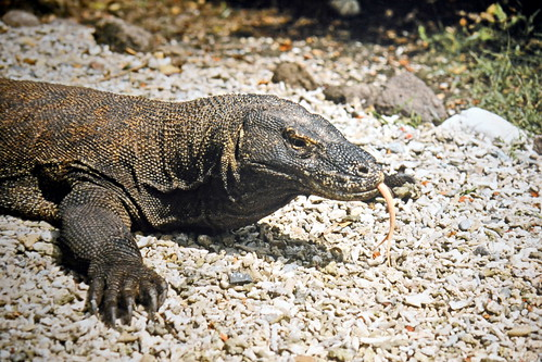 Indonesia - Komodo Island - Komodo Dragon - 5