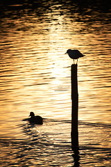Waiting for Peter Pan : From pillar to post (Fly bye!) Tags: lake water silhouette duck post gull mallard ripples piling blackheadedgull