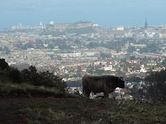 Pentland Coo (th1stleandr0se) Tags: castle scotland cow edinburgh cattle hills highland forth coo pentland