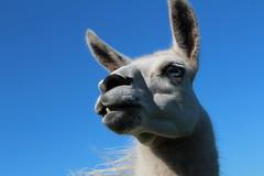 Wise Guy  Explore # 56 ( 8-1-2014 Thanks (excellentzebu1050) Tags: closeup farm llama explore lama explored animails takenwithlove alittlebeauty coth5 mygearandme flickrstruereflection1 thegoldenachievement sunrays5