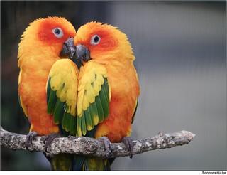 Sonnensittiche   /   Sun Parakeet