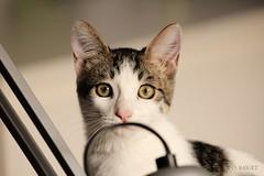 Just saying (O. Baiget) Tags: cats beautiful gatos katze