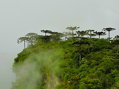 Araucrias do cnion de Itaimbezinho (Valcir Siqueira) Tags: trees verde green nature fog landscape photography canyon floresta belo