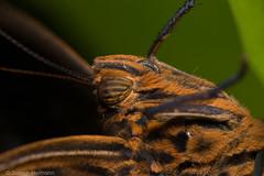 Caligo memnon (Joseph.Hermann) Tags: macro face up closeup forest close forrest head owl caligo memnon eurilochus