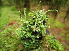 Cladonia coniocraea? (chaerea) Tags: trees tree nature forest woodland moss lichen