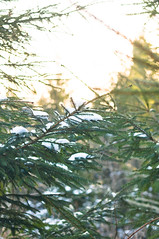 Sun, Snow & Little Winter Exploring (Evelina L. Photography) Tags: trees winter sun inspiration nature colors beauty forest photography amazing woods focus photographer natural grove branches fineart january inspired sunny blogger christmastree follow fir wintertime lithuania thesun fineartphotography naturephotography wintry littlethings nikkorlens nikkor50mm lifestylephotography ilovewinter naturephotographer firgrove fineartphotographer ontheblog natureinspiration nikond5000 nikkor50mm18g