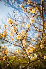 GTJ-20140120-10 (goteamjosh) Tags: mountains taiwan sakura cherryblossoms   taoyuan  plumblossoms  fuhsing
