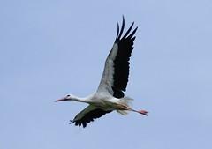 Ooievaar (Fotofreaky2013) Tags: stork lelystad ooievaar oostvaarderplassen