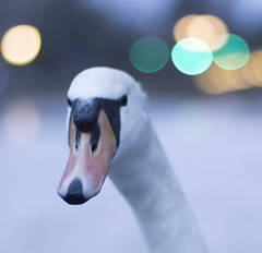 Shallow swan (Stu thatcher) Tags: winter water canon river swan flood riversevern worcestershire floods worcester