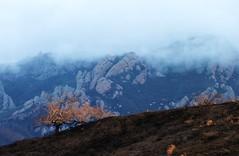 Golden Tree (cmrowell) Tags: california tree oak openspace santamonicamountains venturacounty newburypark conejovalley nationalrecreationarea trailrun boneymt ranchopotrero