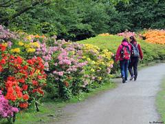 Colorful (Shahrazad26) Tags: holland thenetherlands denhaag rhododendron azalea paysbas thehague zuidholland clingendael lahaye landgoedclingendael
