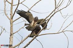 Swainson's Hawk (Buteo swainsoni) Got Your Back!!! (Neil Young Photography (nyphotos.ca)) Tags: canada calgary bird nikon hawk raptor alberta neilyoung birdofprey swainsonshawk buteoswainsoni buteo fotoman swainsons nyphotos d700 neilyoungphotography