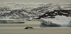Humpback Diving (Derbyshire Harrier) Tags: ice spring diving arctic greenland iceberg humpbackwhale fluke 2014 aasiaat naturetrek oceanwideexpeditions svrembrandtvanrijn