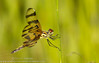 Halloween Pennant (sjsimmons68) Tags: animals favorites fav halloweenpennant celithemiseponina insectsandspiders dragonflyanddamselfly fllocations lowerwekiwariverpreserve