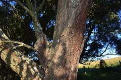 Rosewood (dustaway) Tags: australia bark queensland trunk fabaceae acacia coulson rosewood sequeensland mimosoideae loganvalley arfp australianrainforestplants qrfp scrubironbark scalybark marginalarfp acaciafasciculifera dryarf vinethicketarf dugandanscrubremnants teviotbrookvalley boonahdistrict