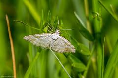 Sandy Carpet Moth (Perizoma flavofasciata) (BiteYourBum.Com Photography) Tags: blue carpet kent sandy moth canonef1740mmf4lusm ipad canonefs60mmf28macrousm biteyourbum