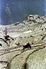 21-123 (ndpa / s. lundeen, archivist) Tags: nepal houses house mountain color building film animal rural 35mm buildings landscape cow village cattle 21 nick terraces mountainside nepalese 1970s hillside 1972 livestock himalayas nepali dewolf terraced mountainvillage ruralvillage terracefarming nickdewolf photographbynickdewolf terracedhillside ruralnepal terracedfarmland reel21 hillyregion terracedmountainside