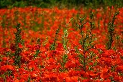 Poppies - Blackstone (Macro light) Tags: flowers red wildlife poppies trust fields farms wildflowers worcestershire blackstone naturereserves beautifulbritain