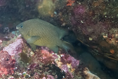 DSC_9478.jpg (d3_plus) Tags: sea sky fish beach japan scenery diving snorkeling  shizuoka    izu     minamiizu      nikon1 hirizo  nagasakidamsel  nakagi nikon1j1 1nikkor185mmf18  beachhirizo skinizu misakafishingport  nagasakidamselfish