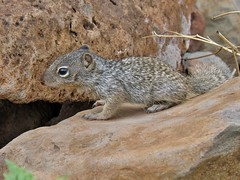 Otospermophilus variegatus (carlos mancilla) Tags: ardillas squirrels olympussp570uz otospermophilusvariegatus ardillnderoca