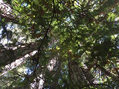 IMG_0500_Redwood POV (sdttds) Tags: redwood sequioa tree grove pov sequoia 366in2016 262of366 pictureoftheday september182016