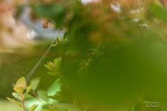 Fentre sur l'araigne courge (Denis-et-Alain-nature) Tags: araignecourge araniellacucurbitina naturesauvage bokh feuillage feuille ciel toile lumire lumiredujour lumirenaturelle canon70d f3556 1855stm