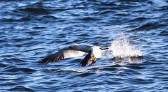 gannet taking off (cbaarch) Tags: quebec perce gannet morus gaspesie