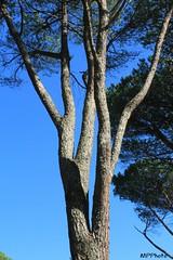 divergenze (marco prete) Tags: tronco ramo pino albero tree divergenze cjelo sky trunk branch pine divergence azzurro lightblue