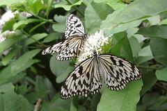 Papiervlinder (Olga and Peter) Tags: papiervlinder woodnymph vlinder butterfly fimg6204
