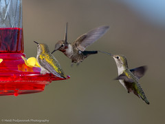 US_CA_Malibu_26484_2016-October-16_160557_HeidiPodjavorsek.jpg (Heidi M Podjavorsek) Tags: california usa northamerica nature bird losangeles season location malibu malibulagoon fauna annashummingbird hummingbird