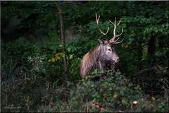 Red Deer. (Phil-Greaves.) Tags: red deer reddeer stag young male antlers landscape killarney park killarneynationalpark ireland outdoors wildlife wildlifewednesday autumn rut rutting season