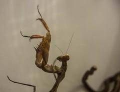 DSC_1947 (xav_roberts) Tags: nikonv1 amateur entomology animal inset mantid brown mantis praying