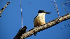 Kingfisher and bumblebee (njohn209) Tags: p900 nikon nz birds