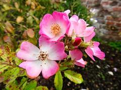 Hampton Roses (heathernewman) Tags: gardenplant flora historicroyalpalaces garden wall bricks green leaves nature flowers pinkandwhite pink roses hamptoncourt london