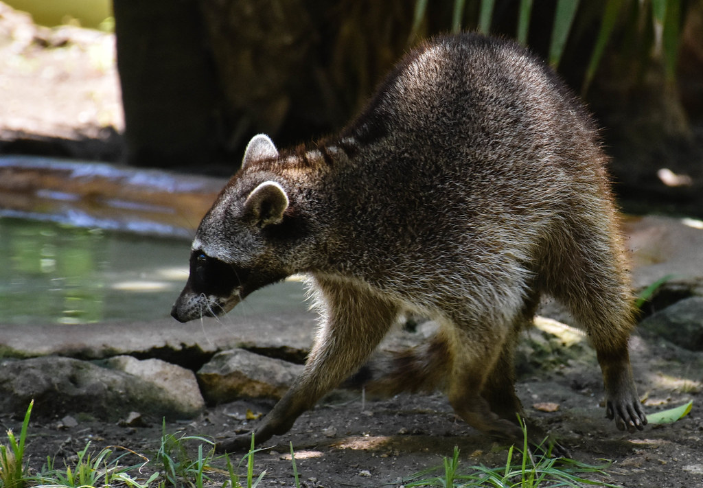 raccoon research paper Their front paws resemble human hands in their dexterity and make the raccoon skillful at many tasks  max planck institute for demographic research how do they.