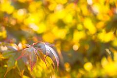 Perch l'autunno, ormai,  qui ((Raffaella@)) Tags: bokeh acero plant colori colors autunno autumn giallo yellow luce light ottobre october canon natura nature