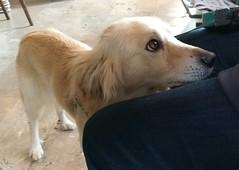 Pongo .... (Deneb56) Tags: pongo sguardodolce sguardo cane dog dogs pongoeyes eyes sweet pup