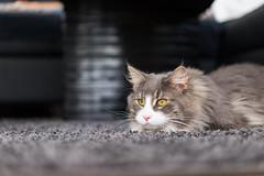 Imi (Neubruch Photography) Tags: vollformat sonya7 zeiss katermikesch kater aufderlauer cat maincoon