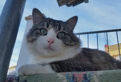 Napolen (angeluzca) Tags: gato gatos animals animales pets mascotas felinos felidos felino dasoleado octubre hocico bigotes wiskers