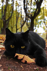 IMG_1553m (Calipsed) Tags: cat black forest yellow eyes leaf garden up feline squirrel royal race look angry world persian explore play land pet kitty panther light lights canon 600d leafs cute seth rox