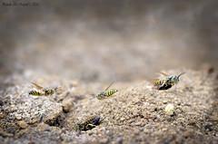 Sandwasp (pandualrosyid) Tags: beautifull nikon d7000 tamron tamron90mm sand wasp sandwasp fly animal macro colour small family