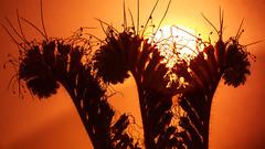 Summer it´s over (Renate Bomm) Tags: 366 2016 blumen bokeh canoneos6d ef100mmf28l renatebomm phacelia feld gründünger flickrunitedaward goldengallary bienenfreund rainfarnphazelie minimalistart hydrophylloideae automne herbst natur nature dfg backlite lit hintergrundbeleuchtung backlit beautifulcapture silouette goldenvisions visiongroup thegoldendreams 2016onephotoeachday flores flora yellow gold gelb