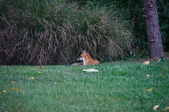 Resting Fox (Donald.Gallagher) Tags: animals backyard de delaware fall foxes horizontal lenstagger mammals nature northamerica pikecreek public typecolor typeportrait typetelephoto usa woodcreek woods